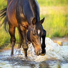 Horse splashing in water