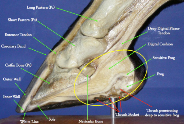 Thrush And Other Hoof Maladies The Cheshire Horse Blog