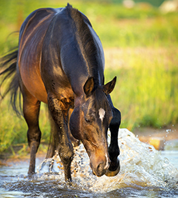 You and your horse should drink before, during, and after hot weather rides.