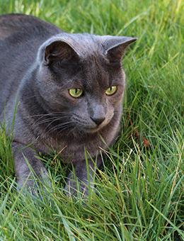 Domestic cats' diets must include certain minerals and essential amino acids that they would otherwise get in the wild.