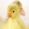 2017-03-Goslings-sq